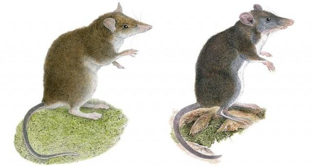 Doctors and Researchers Found 2 New Mouse Species in Luzon